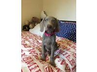 Weimaraner puppy for sale 10weeks old