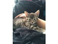 Beautiful tabby patterned half Maine Coon 19 week old neutered female kitten