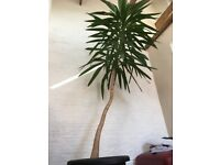 Stunning 3 metre (9ft) yucca plant!