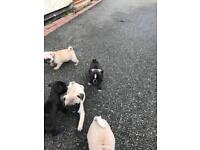 Pug puppies ready now all girls blacks and fawns