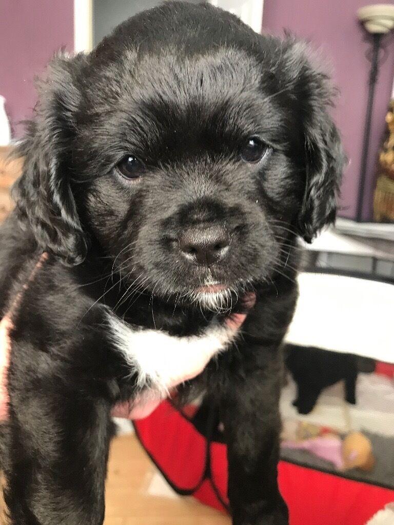 Pug Cross Dogs For Sale Uk
