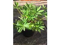 Perennial Plant - Lupin