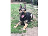 Beautiful German Shepherd for sale