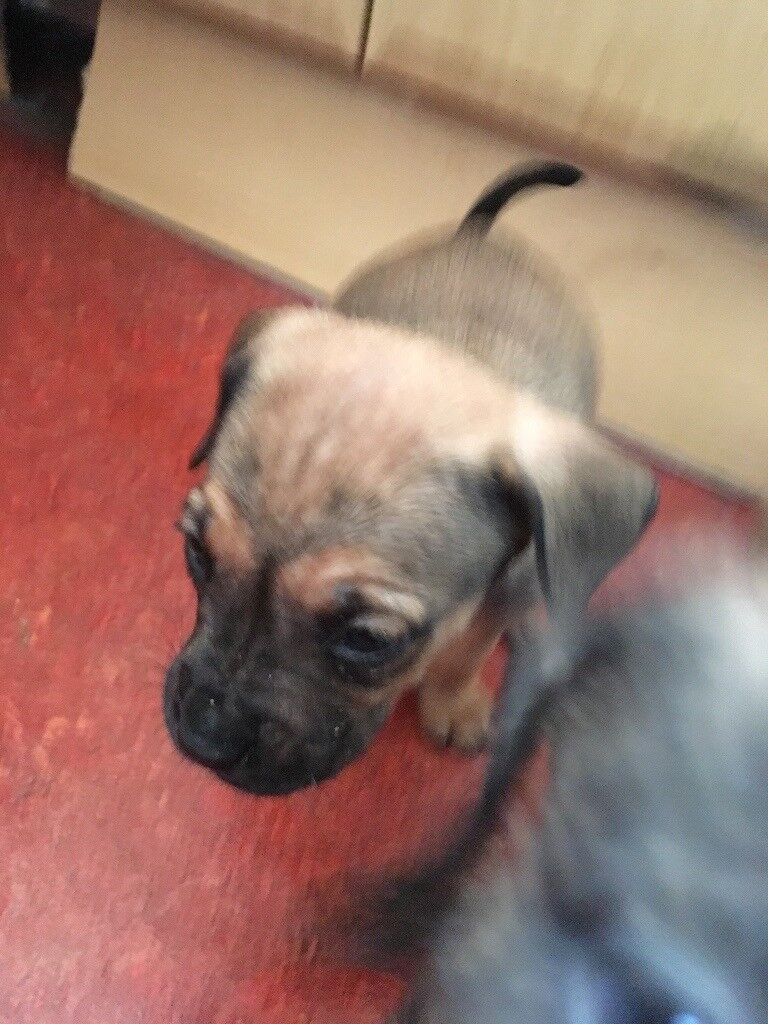 Mastiff X Rottweiler X Wolfhound Mix Puppies In Perth Perth And