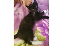 11 weeks female kitten wormed. comes with accessories