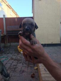 Beautiful lurcher pups