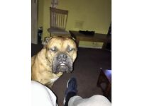 old tyne bulldog for sale he is 7 years old and is friendly. we are willing to listen to any offers