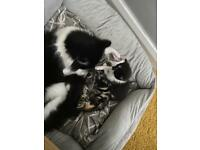 Beautiful black & white Maine coon x kitten