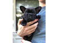 READY NOW! French Bulldog Boy