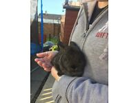 Gorgeous baby lop ear rabbits
