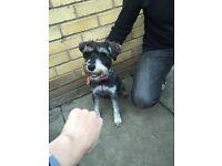 Dog for sale female miniature schnauzer
