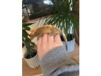 Crested Gecko and full bioactive exo Terra terrarium