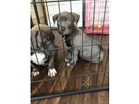 ABKC XL Bully Puppies