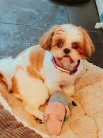 Shih tzu 1 yr old female