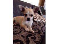 Chihuahua Lovely male Pup for sale with Pedigree