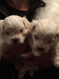 Beautiful T.cup/miniature Maltese Terriers