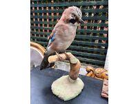 Taxidermy Jay Bird - Taxidermy Bird - Good Condition