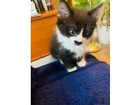 Beautiful medium hair tuxedo boy kitten for sale