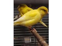 Lovely Canary
