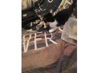 8 week old female kitten