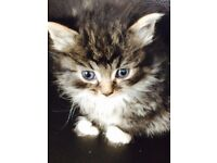 Long haired very fluffy tabby kittens READY NOW