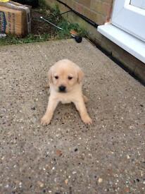 Pedigree Labrador puppies for sale