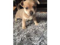 Jackuhuahua Puppies