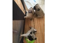 5 fawn pug puppies for sale