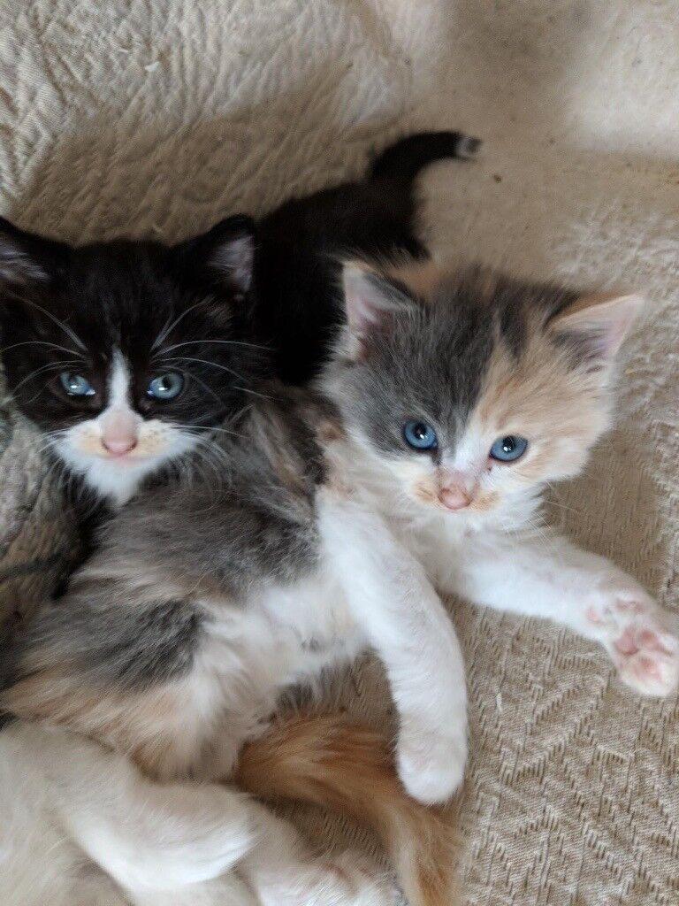 cute fluffy kittens in haringey london gumtree