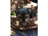 Yorkshire terrier puppies 3 gorgeous little girls