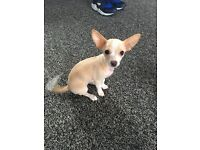 Chihuahua puppy female 14 weeks old vet checked and needles and wormed