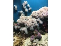 Beautiful Red Sea pulsing Xenia marine coral frags