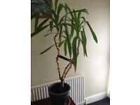 Yucca Plant - Indoor Plant