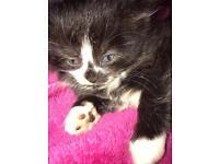 I have one female kitten left