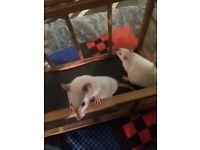 Two albino pet rat girls 4 months old