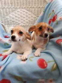 Jack Russell 2 boy puppys