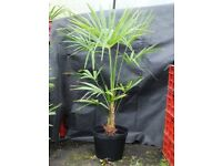 Trachycarpus Fortuneii, Chusan Palm, Fully UK Hardy Outdoors, 4Ft Tall In 10 Litre Pot