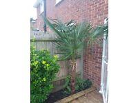 Palm trees x 3