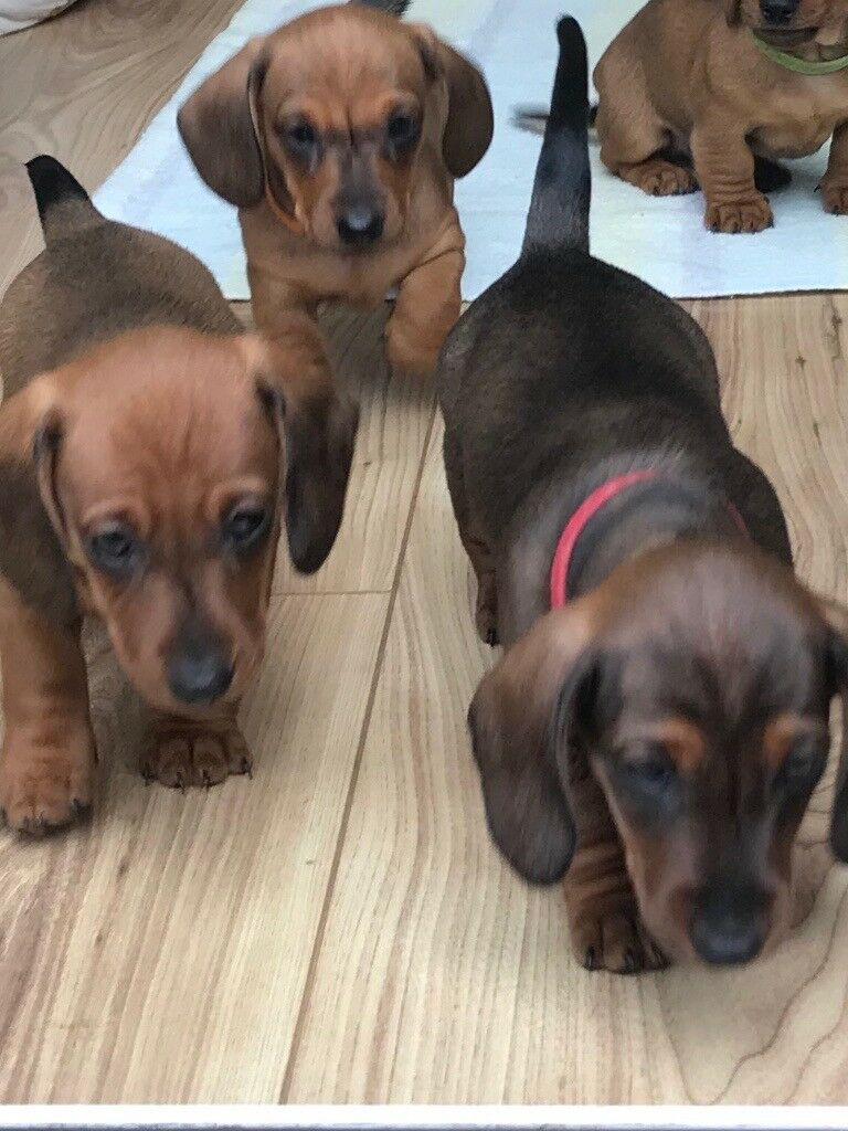 Miniature Dachshund Puppies For Sale In Hove East Sussex Gumtree