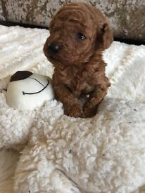 Rare red toy poodle pups kc reg pra DNA clear