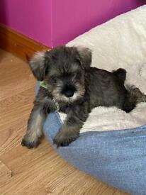 Kc reg miniature schnauzer pups