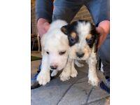 Male Beagle Pups