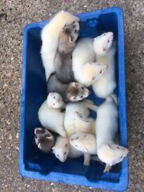 Baby ferrets ****ready now ****