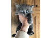 Russian blue mix kittens