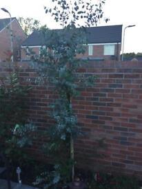 Eucalyptus Tree ****SOLD*****
