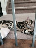 Seeking: male bengal cat for one night stand