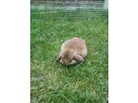 Pure mini lop bunny
