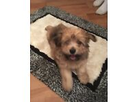 Pomachon Puppies (Pomeranian cross Bichon Frise) Only 1 Girl Left !