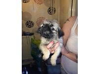 Last Beautiful 3/4 pug puppies for sale