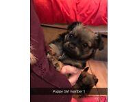 Beautiful chug (chihuahua x pug) puppy's